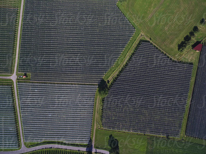 Aerial vista of geometric lines on apple orchards by rolfo for Stocksy United