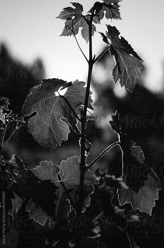 Vine Leaves Backlit by the Setting Sun by Adrian P Young for Stocksy United
