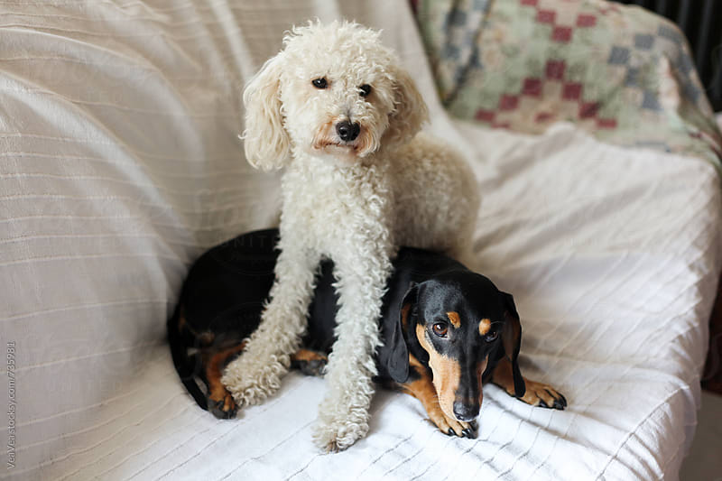 Poodle and dachshund on a couch  by VeaVea for Stocksy United