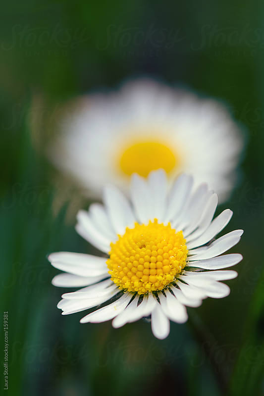 Loves me, loves me not: two daisies by Laura Stolfi for Stocksy United