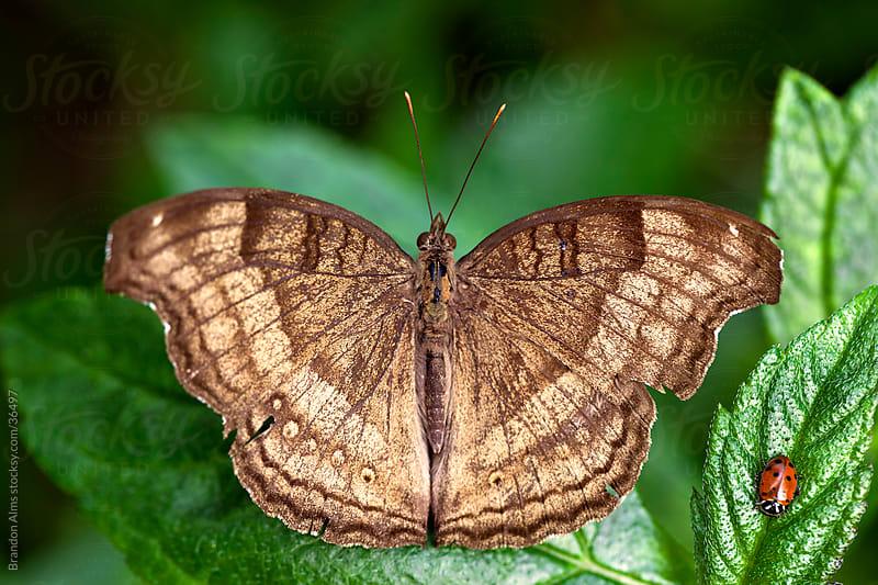 Chocolate Pansy Butterfly Macro Shot Alongside a Ladybug by Brandon Alms for Stocksy United