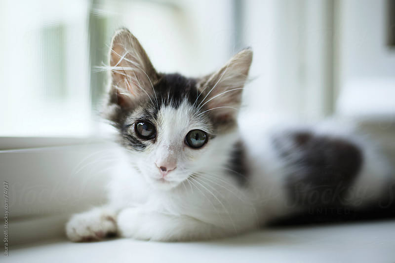 Kitten with different colored eyes looks at the camera while laying on white windowsill by Laura Stolfi for Stocksy United