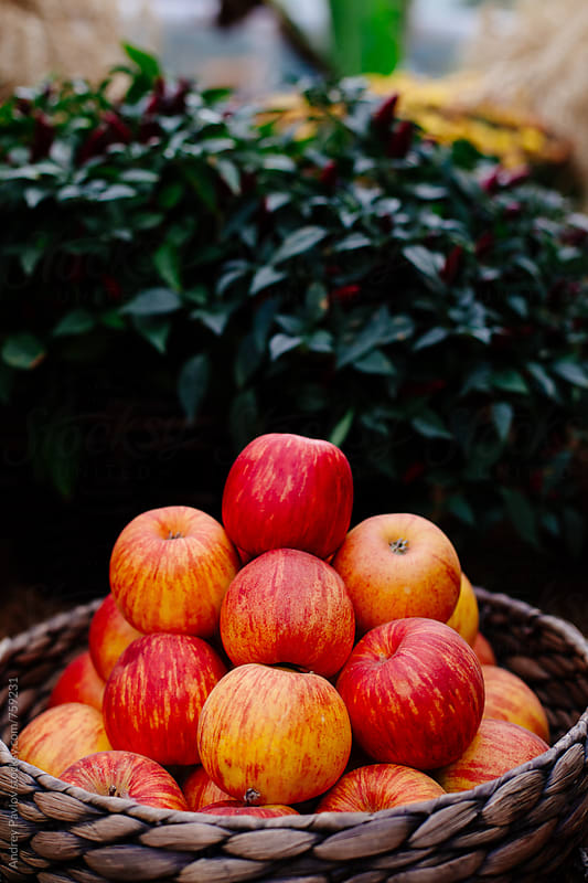 Red apples in a basket by Andrey Pavlov for Stocksy United