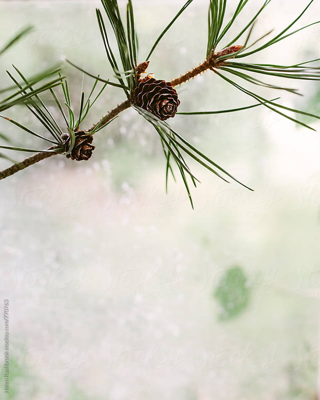 A pine twig.  by Helen Rushbrook for Stocksy United