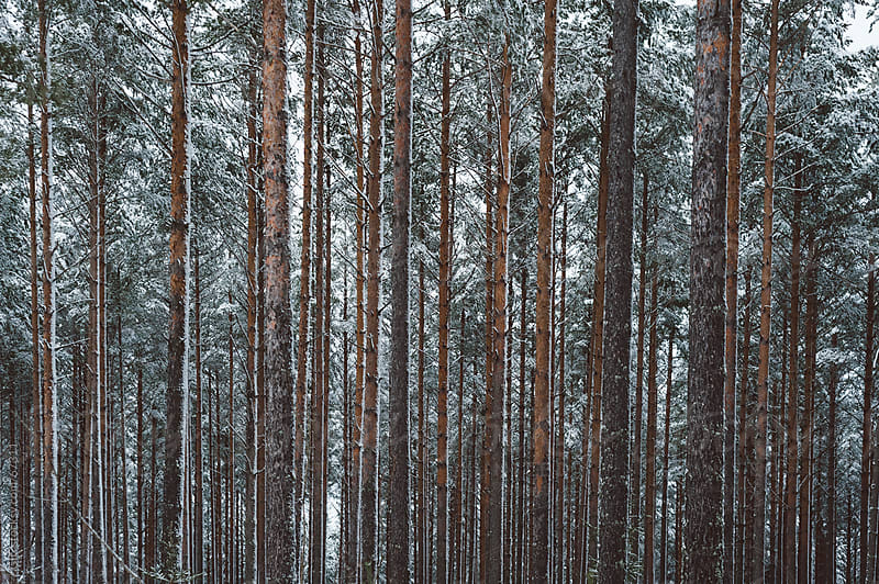 Coniferous forest in the winter by WAVE for Stocksy United