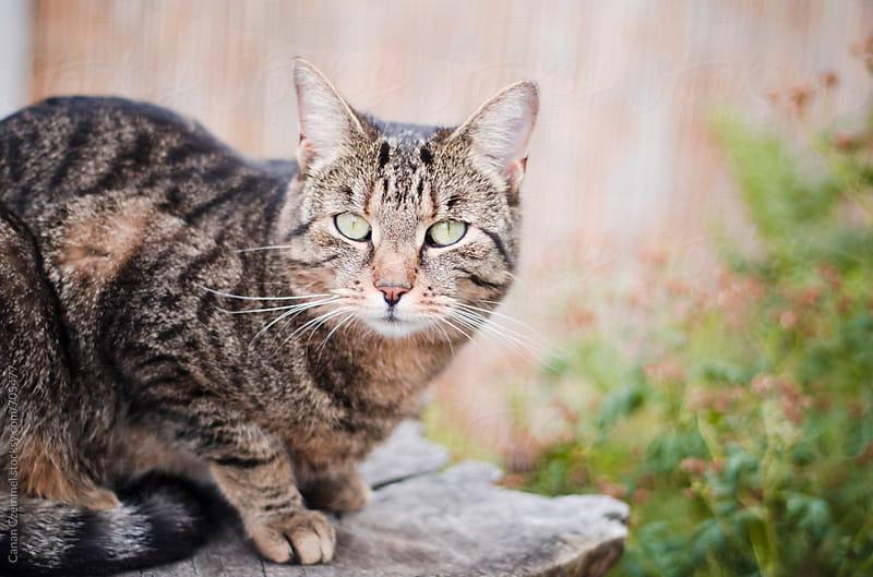 tabby cat by Canan Czemmel for Stocksy United