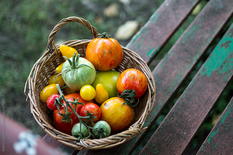 Fresh tomatoes in the garden bench by Viktorné Lupaneszku for Stocksy United