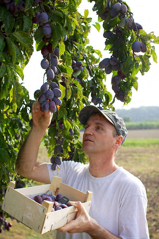 Harvesting plums by Harald Walker for Stocksy United