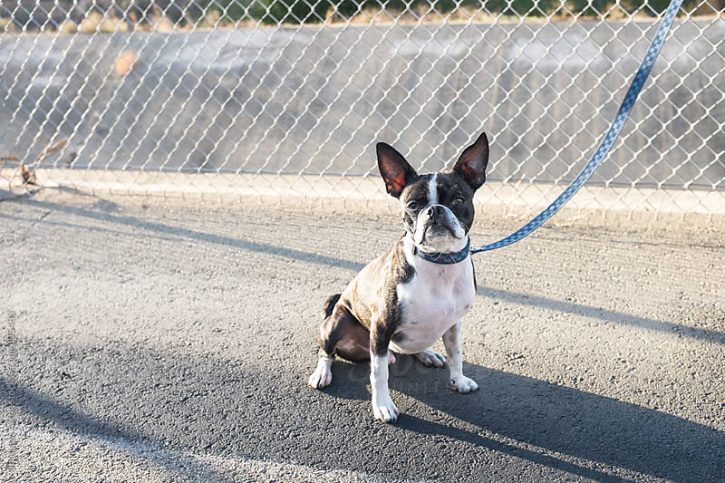 Bruce the Boston/Pug on the trail by Shannon Aston for Stocksy United