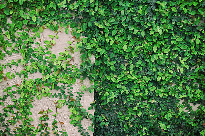 Ivy vines growing on wall by Monica Murphy for Stocksy United