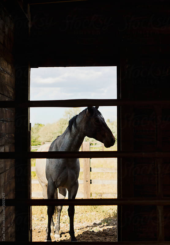 horse stands in doorway of barn  by Tana Teel for Stocksy United