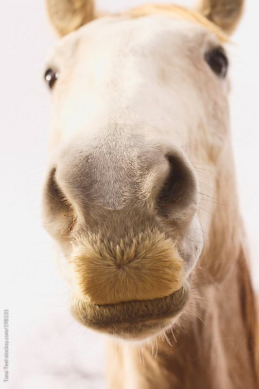 A horse with hair on his muzzle that looks like a mustache by Tana Teel for Stocksy United
