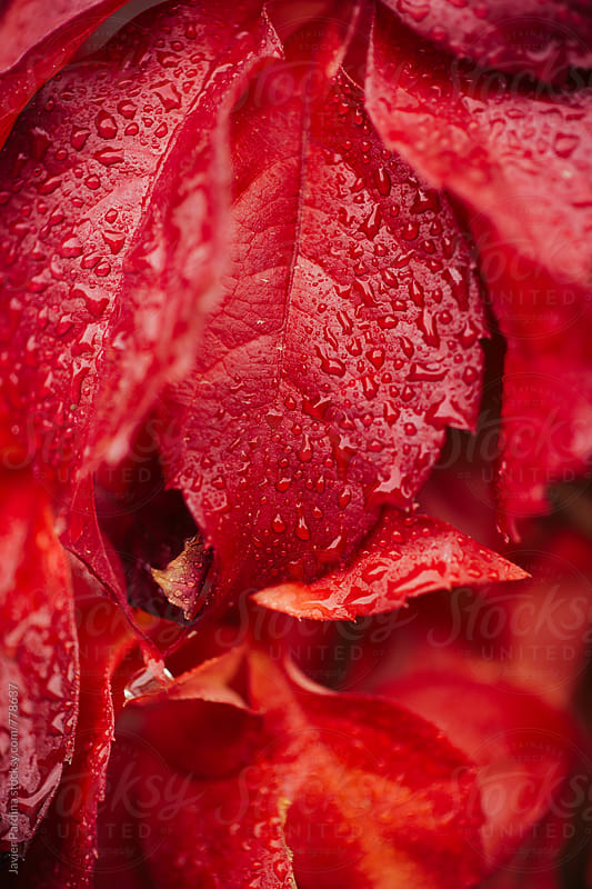 macro detail of red leaves with drops by Javier Pardina for Stocksy United