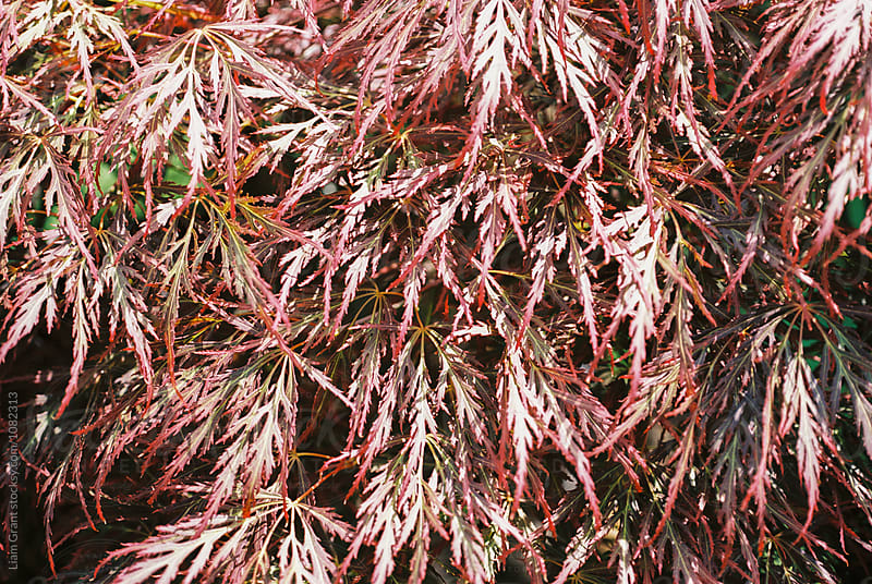 Dark red Acer tree leaves. Norfolk, UK. by Liam Grant for Stocksy United