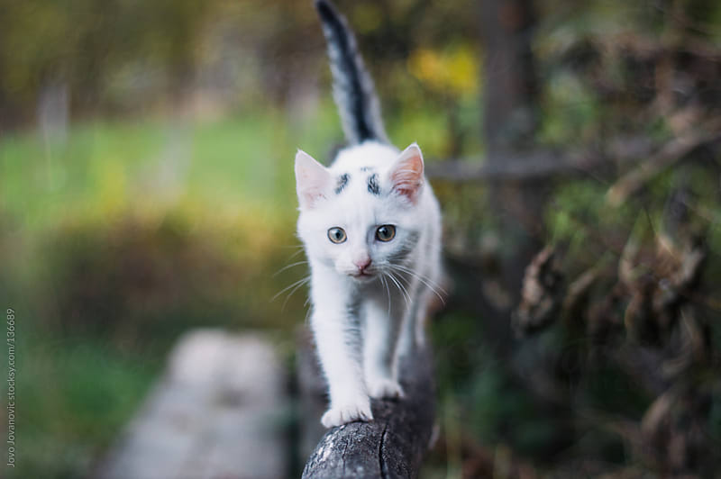 Cute kitten walking on a wooden fence by Jovo Jovanovic for Stocksy United