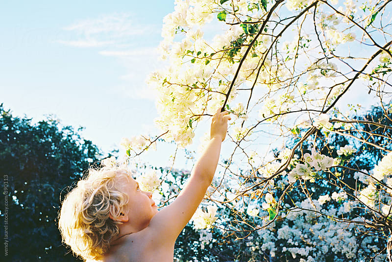 little blonde boy reaching up to white flower branch in sunshine by wendy laurel for Stocksy United