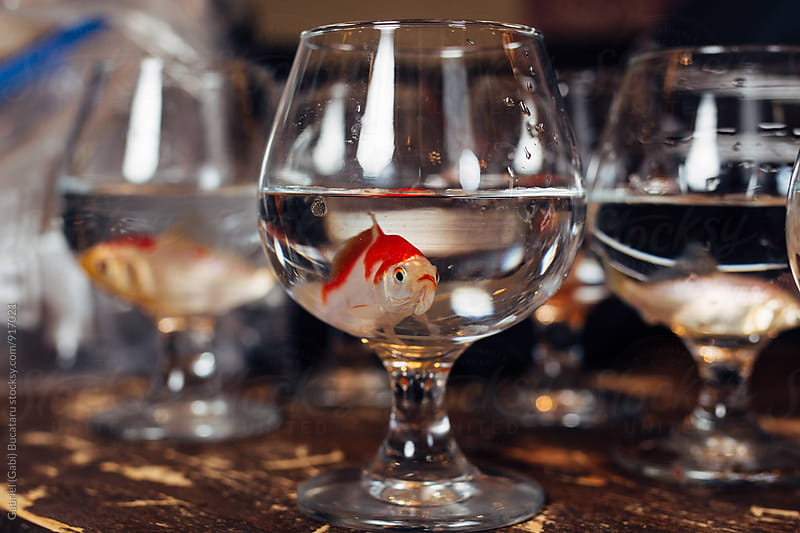 Ornamental gold fish in a wine glass by Gabriel (Gabi) Bucataru for Stocksy United