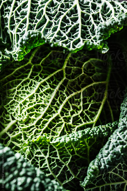 Closeup of a savoy cabbage. by Darren Muir for Stocksy United