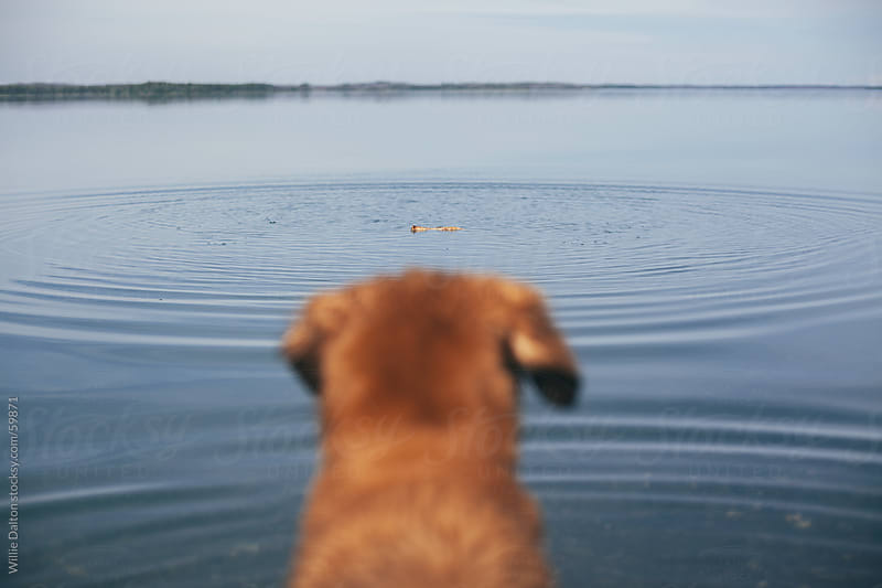 Dog Watching a Stick Float in a Lake by Willie Dalton for Stocksy United