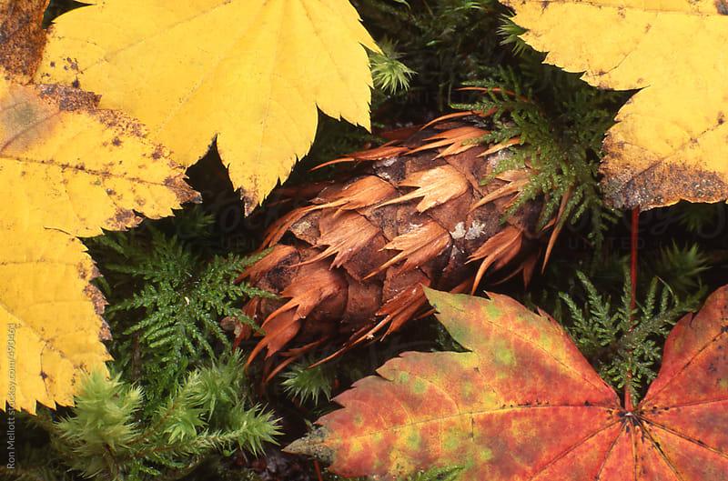 closeup macro douglas-fir (pseudotsuga menziesii) pinecone amidst autumn leaves by Ron Mellott for Stocksy United