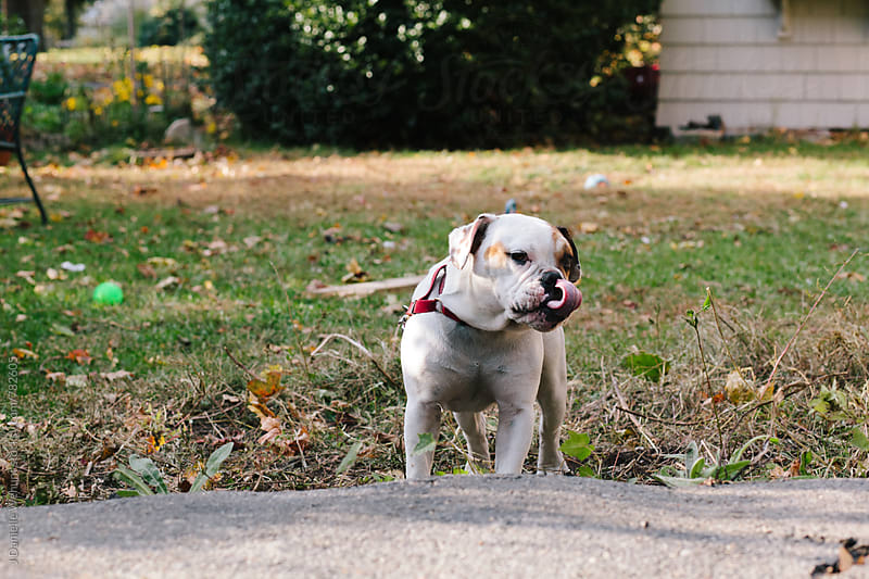 An english bulldog puppy outside in a yard, leashed. by J Danielle Wehunt for Stocksy United