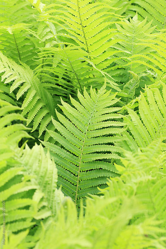 Young lightgreen matteuccia ferns by Marcel for Stocksy United