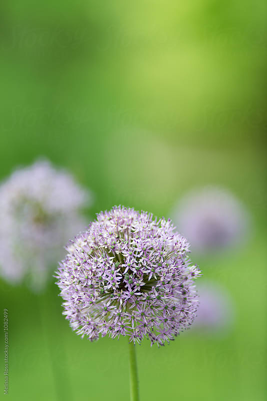 Purple Allium Flower by Melissa Ross for Stocksy United