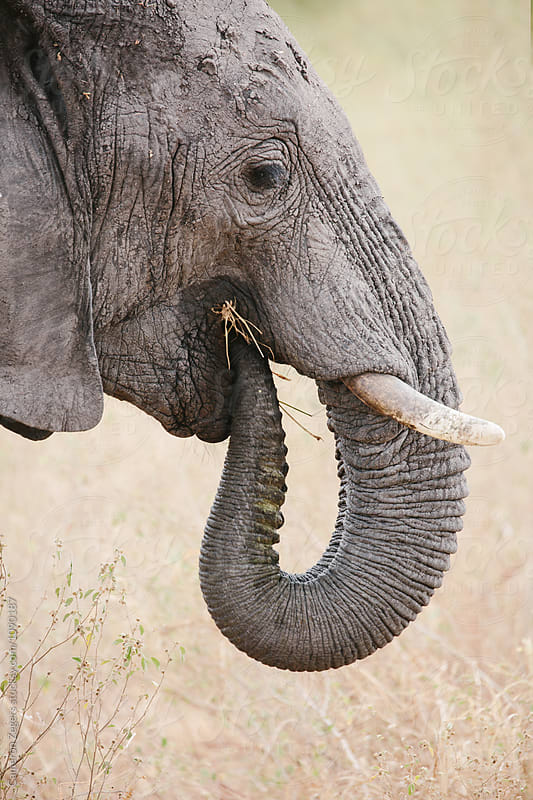 close up of elephant eating by Cameron Zegers for Stocksy United