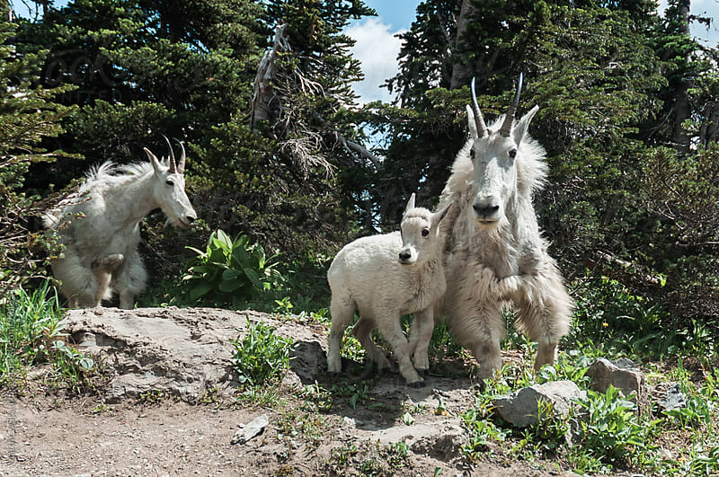 Mountain goats with young  by Matthew Spaulding for Stocksy United