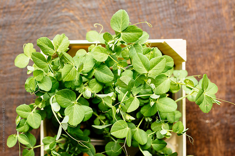 Pea seedlings in a box by Harald Walker for Stocksy United