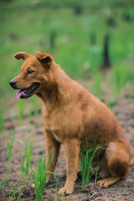 Dog in the farm by Chalit Saphaphak for Stocksy United