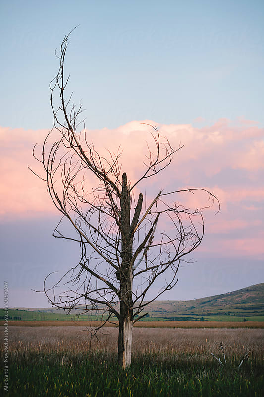 Dry tree by dusk by Aleksandar Novoselski for Stocksy United