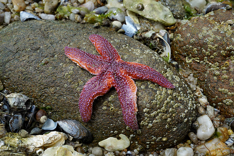 Starfish on a rock at low tide by Marcel for Stocksy United