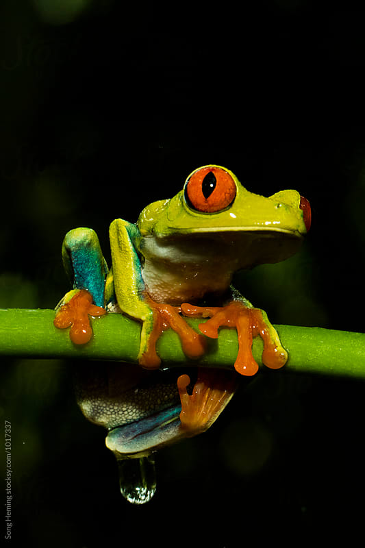 Portrait of Red-Eyed Tree Frog ,Agalychnis callidryas by Song Heming for Stocksy United