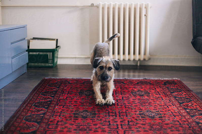 Cute dog on a red carpet looking at the camera  by Marija Kovac for Stocksy United