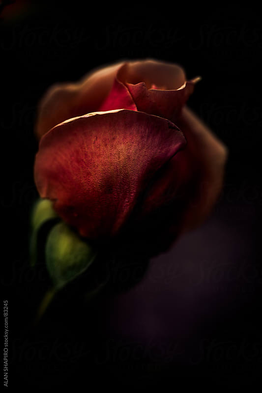 A rose in shadow by alan shapiro for Stocksy United