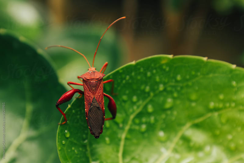 Indonesian Leaf Footed Bug by Nemanja Glumac for Stocksy United