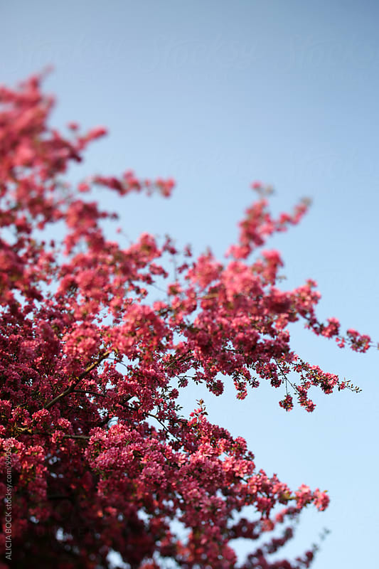 Branches Of A Blooming Crab Apple Tree On A Spring Morning by ALICIA BOCK for Stocksy United