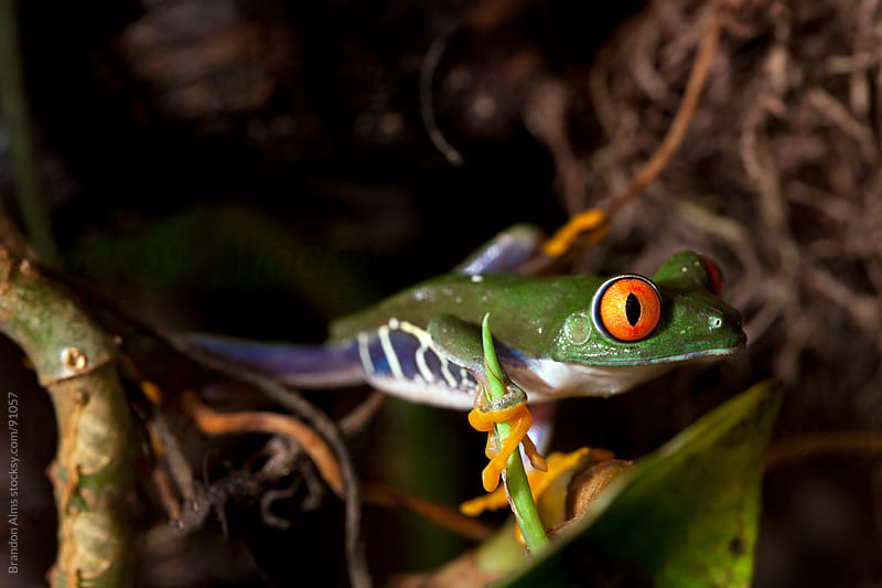 Colorful Red Eyed Tree Frog by Brandon Alms for Stocksy United