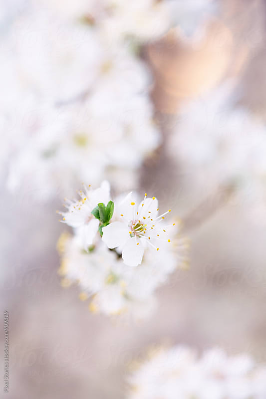 White Spring blossom by Pixel Stories for Stocksy United