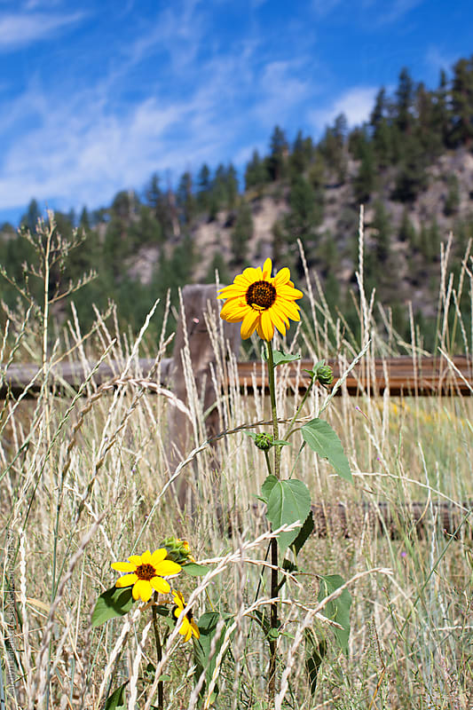 Wild sunflower growing by a wood fence in the mountains by Carolyn Lagattuta for Stocksy United