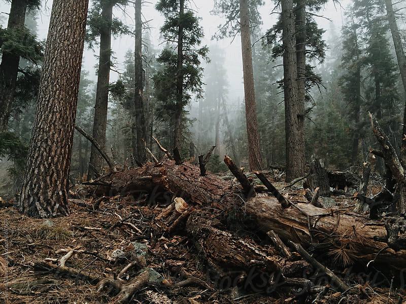 Fallen Tree in Moody Forest by Kevin Russ for Stocksy United