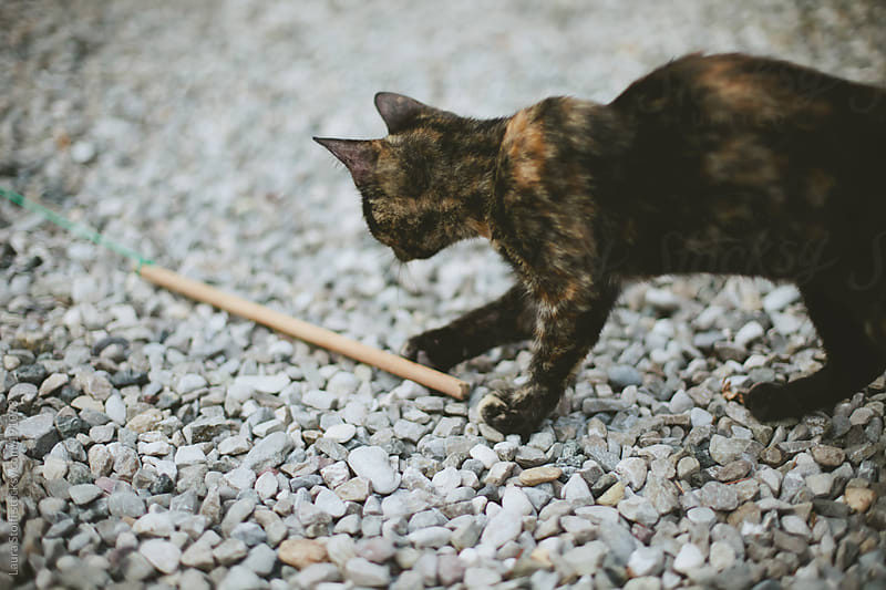 Tabby cat playing with wooden stick by Laura Stolfi for Stocksy United