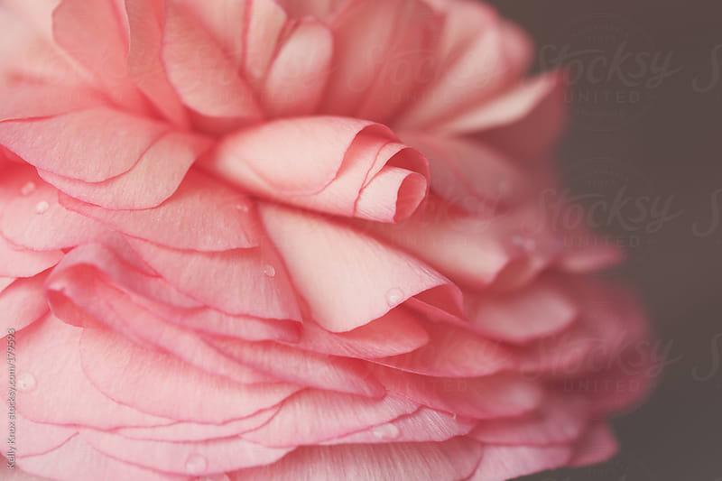 pink ranunculus  by Kelly Knox for Stocksy United
