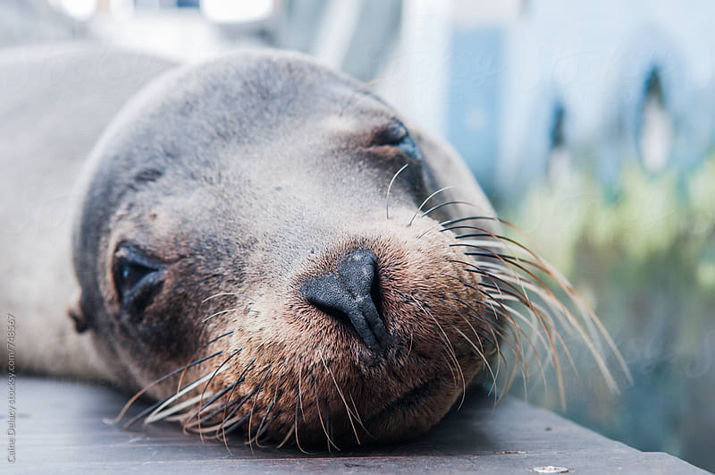 Galapagos fur seal resting on dock- close up by Caine Delacy for Stocksy United