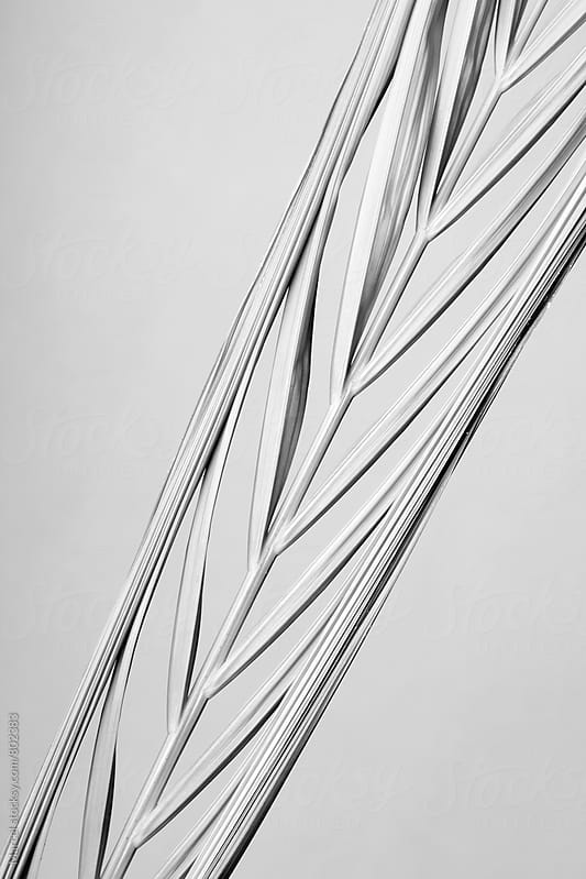 Palmleaf about to unfold, in minimalistic black and white by Marcel for Stocksy United