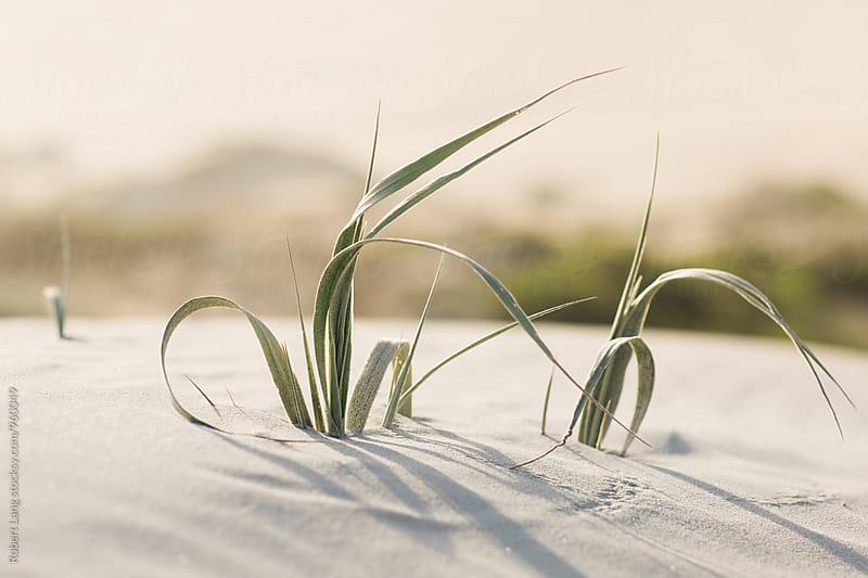 Dune grass, coastal Australia by Robert Lang for Stocksy United