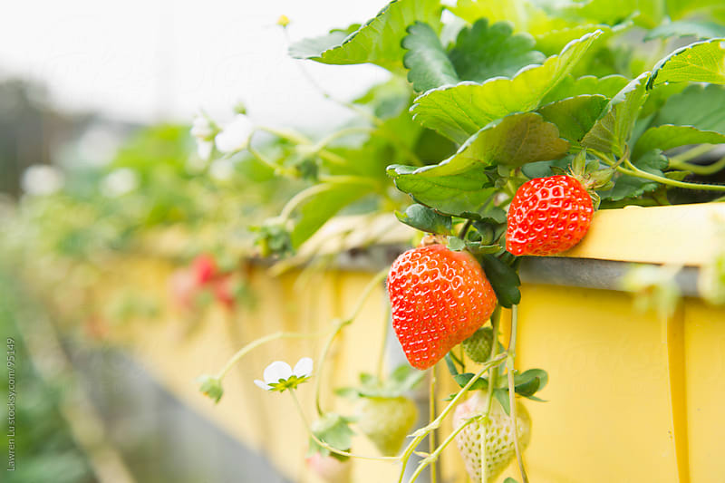 Ripe strawberries in farm by Lawren Lu for Stocksy United