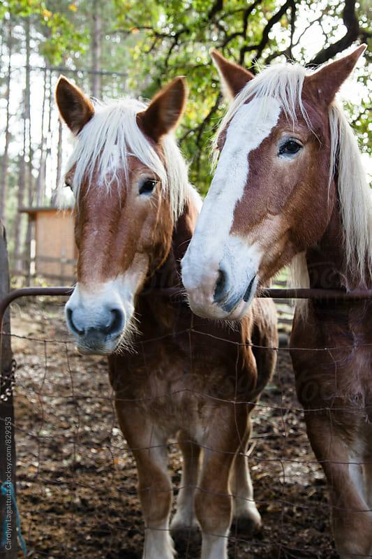 Beautiful sibling draft horses at the farm by Carolyn Lagattuta for Stocksy United