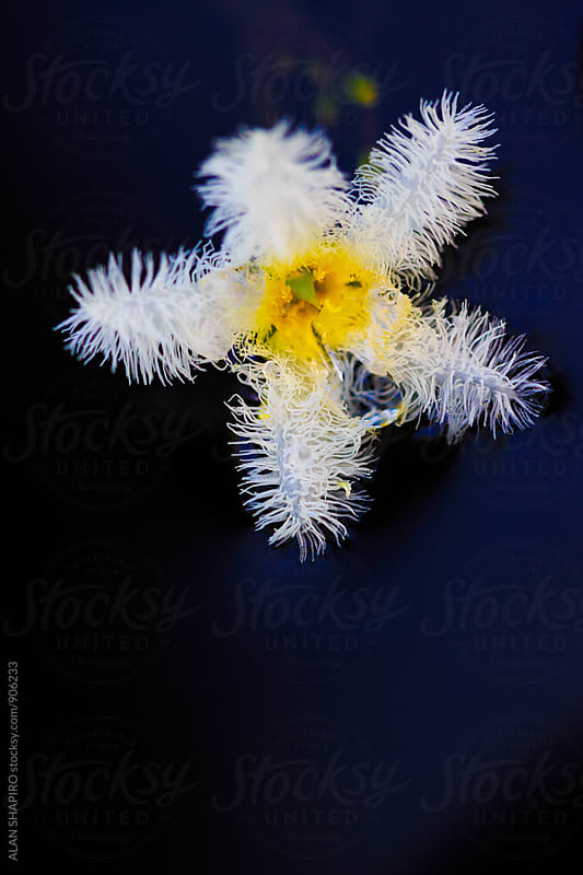 Water Snowflake lily by ALAN SHAPIRO for Stocksy United